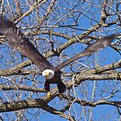 American Bald Eagle Coming At You by Anthony Roma