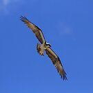 Eastern Osprey - Australia by Noel Elliot