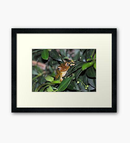 Cuban Tree Frog Framed Print