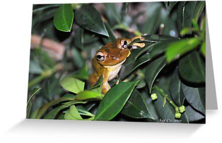 Cuban Tree Frog by Jeff Ore