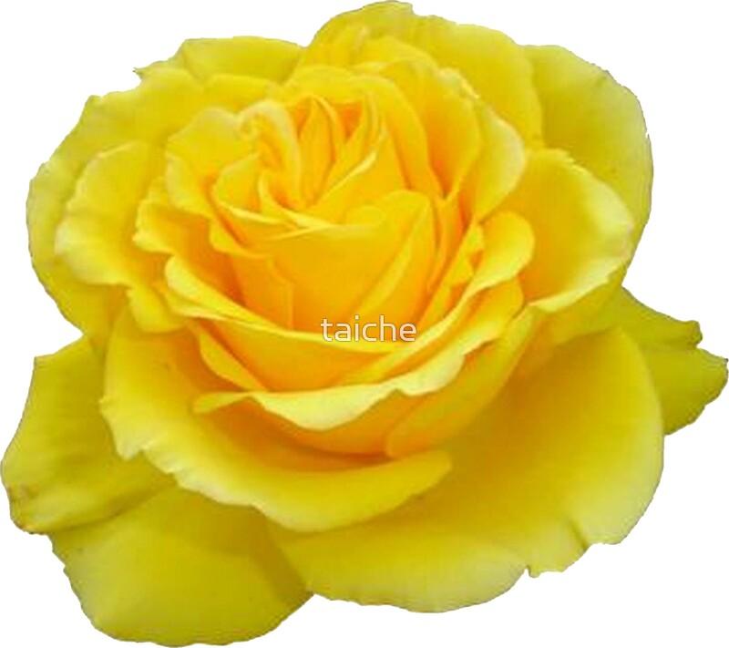"""Beautiful Yellow Rose Flower on Black Background ..."