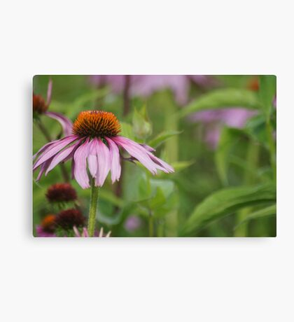 Echinacea purpurea Canvas Print