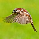 House Sparrow in flight by M S Photography/Art