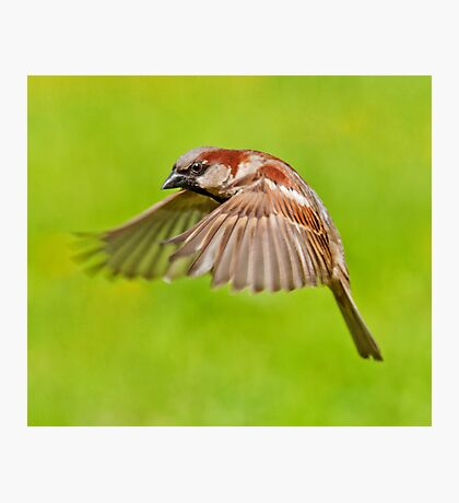 House Sparrow in flight Photographic Print