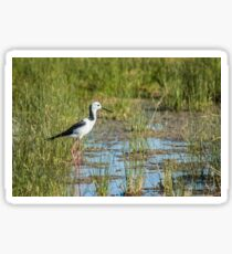 Black-winged Stilt Sticker