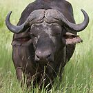 Cape Buffalo by Kyle McLeod