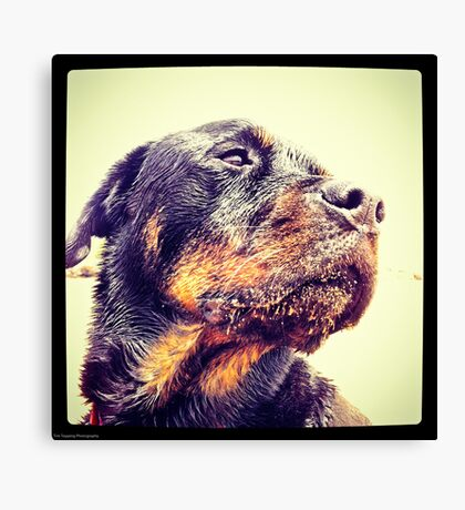 Sandy Rottweiler Canvas Print