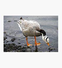 Bar Headed Goose - Esquimalt Lagoon Photographic Print