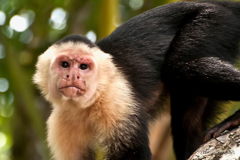 White Faced Monkey by Wanda Staples