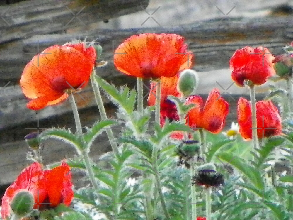 Oriental Poppies by Betty  Town Duncan