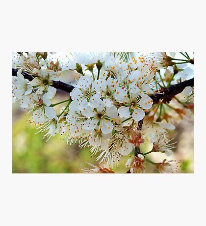 Tree blossoms Photographic Print