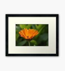 Pot Marigold Framed Print