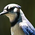 Blue Jay Up Close by Paulette1021