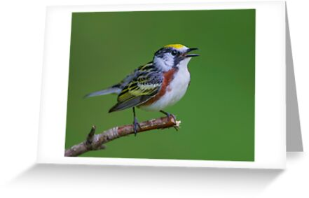 Chestnut sided warbler by Daniel  Parent