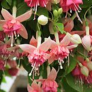 Flying Fuchsias! by Pat Yager