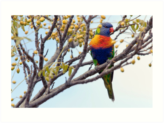 Rainbow Lorikeet by SD Smart