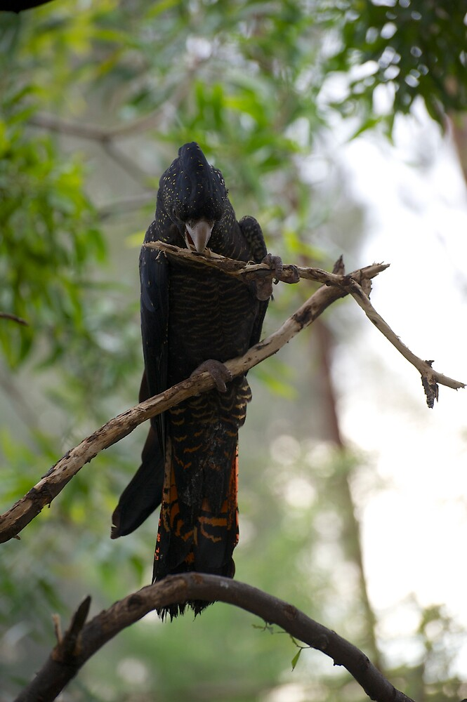 Red Tailed Black Cockatoo by GP1746