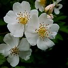 White Wild Rose by Charles & Patricia   Harkins ~ Picture Oregon