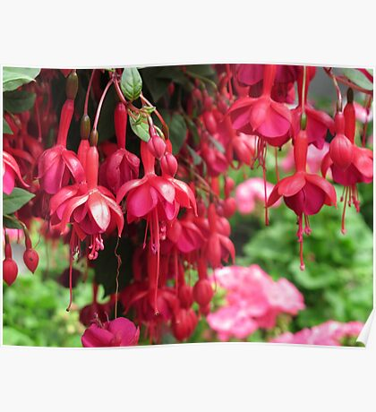 Red on Red Fuchsias Poster