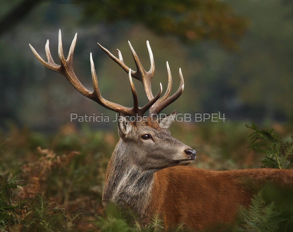 Majestic Red Deer by Patricia Jacobs DPAGB BPE4