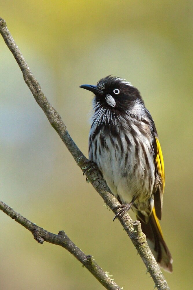 NEW HOLLAND HONEYEATER by Matthew Burniston
