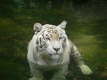 White Tiger by Anthony Keevers