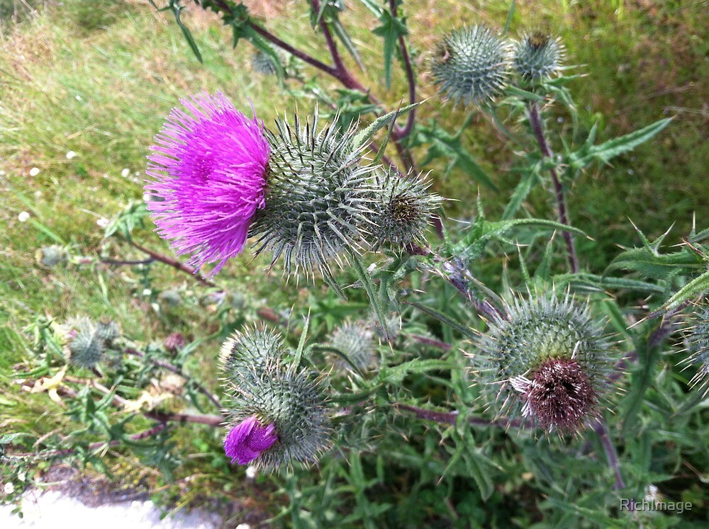 Thistle... by RichImage