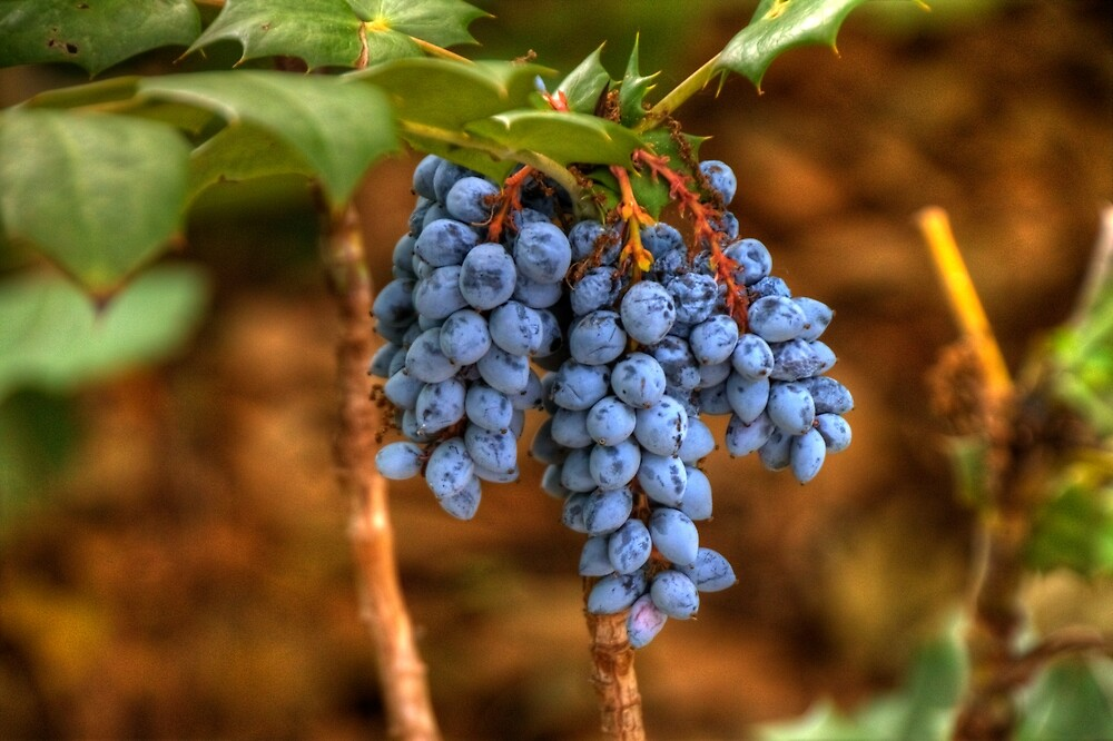 Wild Grapes by Terence Russell