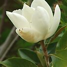 Magnolia (4713) by ScenerybyDesign