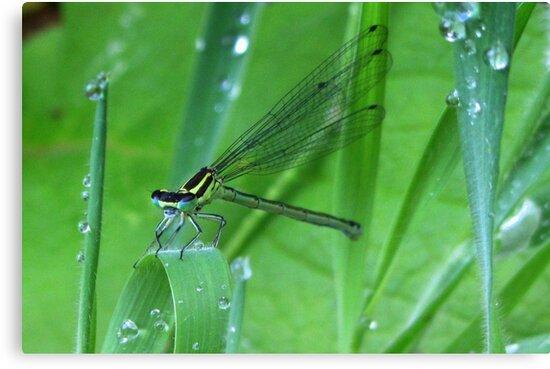 Damselfly and Waterdrups by ienemien