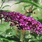 Snowberry Clearwing by Veronica Schultz