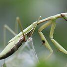Praying mantis by MiloAddict