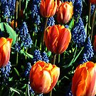 Tulips 12 by photonista
