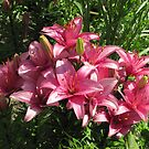 Lilies in Sunshine by orko