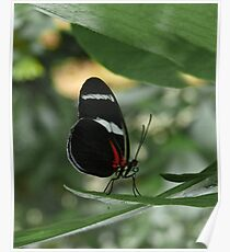 Antiochus Longwing. Poster
