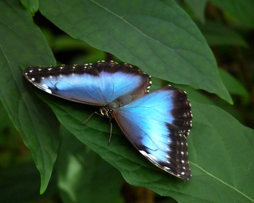 Blue Morpho #2. by chris kusik