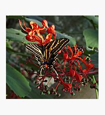 Three Tailed Tiger Swallowtail. Photographic Print