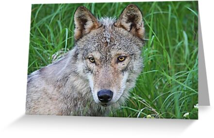 Timber Wolf by Vickie Emms