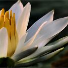 NYMPHAEACEAE – Waterlily Family (My fave sunset White Waterlily) by Magriet Meintjes