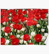 Groundhog Day! Vibrant Red & White Tulip Flower Bed on Parliament Hill, Canada Poster