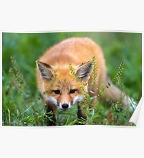 Fox kit in the grass Poster