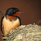 Barn Swallow by Veronica Schultz