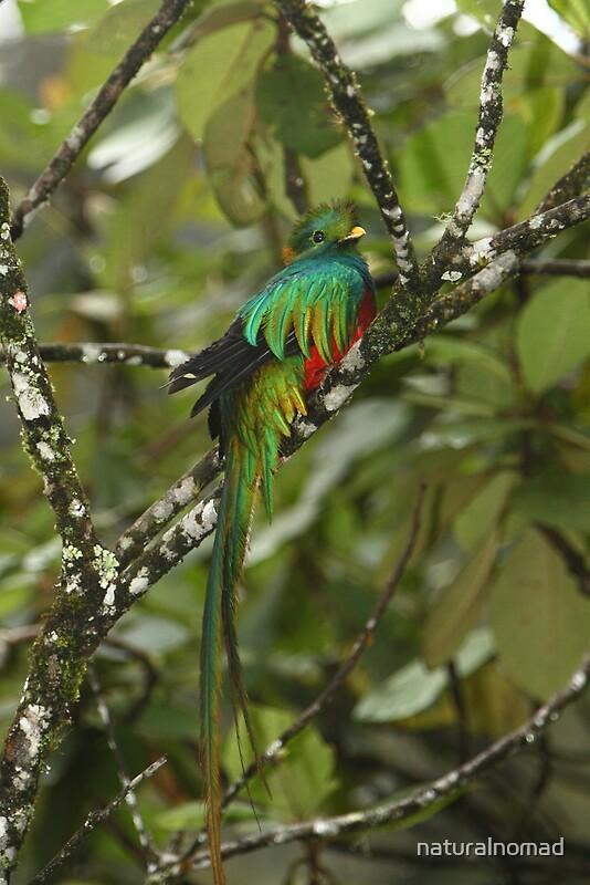 Quot Resplendent Quetzal Ii Quot By Naturalnomad Redbubble
