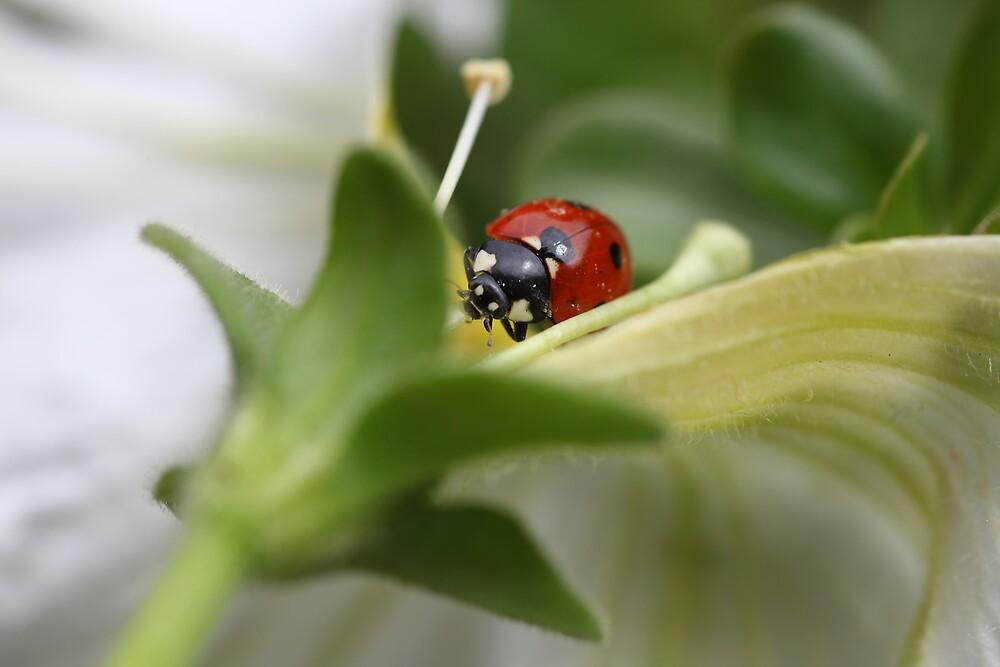 Ladybug by PhotoTamara