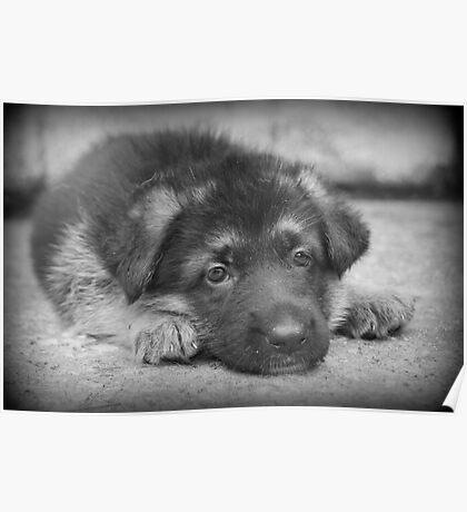German Shepherd Puppy Poster