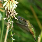 Female Rufous Hummingbird and Red Hot Poker  by K D Graves Photography