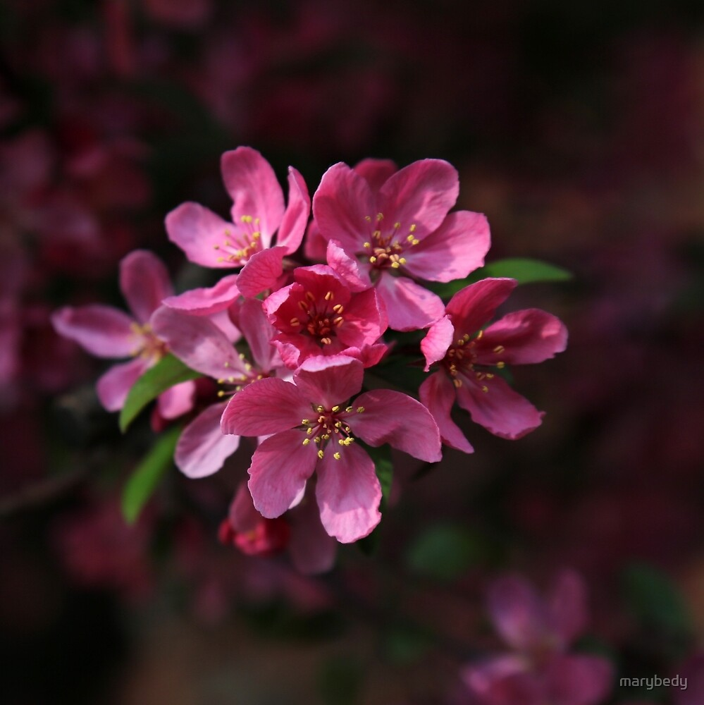 Fully Pink by marybedy