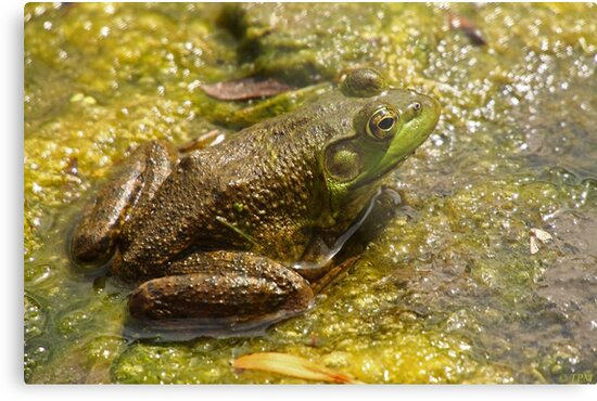 Frog March by Thomas Murphy