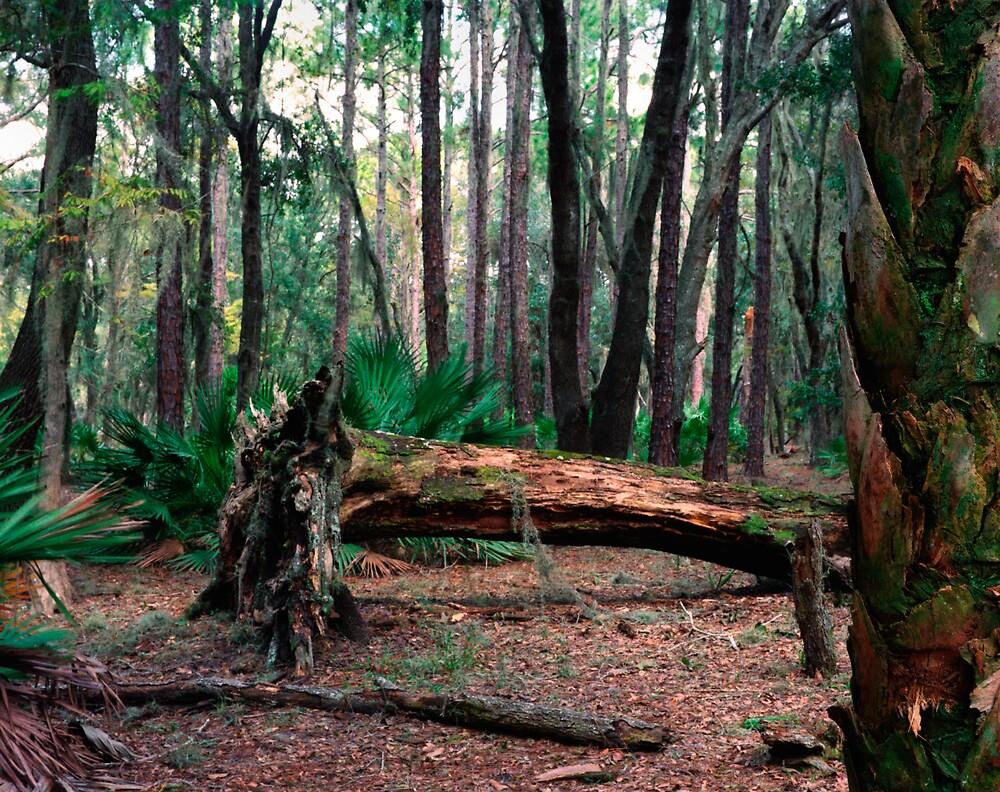 Fallen Oak.  by chris kusik