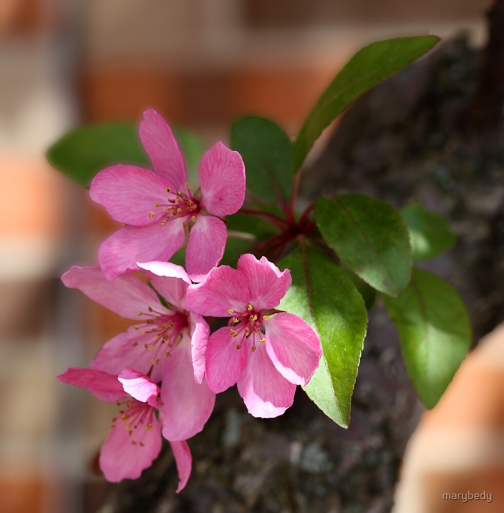 Blooming Crabapple by marybedy